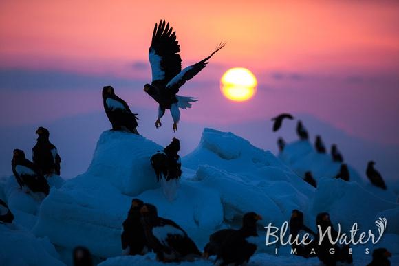 Steller's sea eagles at sunrise