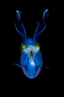 Beautiful Bigfin Reef Squid (5 of 5)
