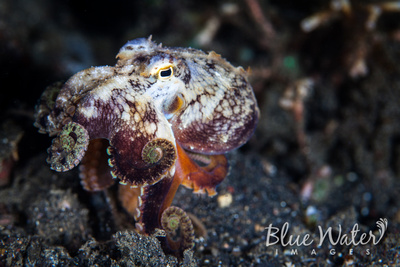 The Curly Coconut Octopus