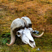 Mountain Sheep Skull