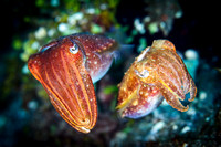 Cuttlefish Couple (1 of 3)