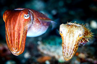 Cuttlefish Couple (3 of 3)