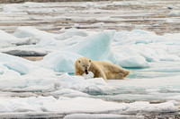 Young male polar bear playing with ice ball 02
